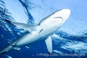 Silky Shark at San Benedicto Islands, Revillagigedos, Mexico. Socorro Island (Islas Revillagigedos), Baja California, Carcharhinus falciformis, natural history stock photograph, photo id 33329