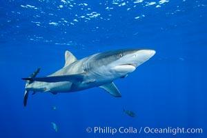 Silky Shark at San Benedicto Islands, Revillagigedos, Mexico. Socorro Island (Islas Revillagigedos), Baja California, Mexico, Carcharhinus falciformis, natural history stock photograph, photo id 33330