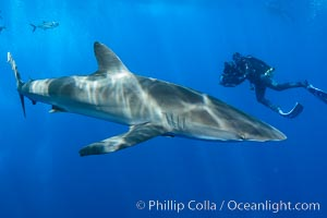 Silky Shark at San Benedicto Islands, Revillagigedos, Mexico. Socorro Island (Islas Revillagigedos), Baja California, Mexico, Carcharhinus falciformis, natural history stock photograph, photo id 33331