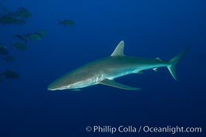 Silky Shark at San Benedicto Islands, Revillagigedos, Mexico. Socorro Island (Islas Revillagigedos), Baja California, Carcharhinus falciformis, natural history stock photograph, photo id 33332
