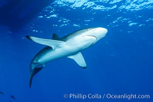 Silky Shark at San Benedicto Islands, Revillagigedos, Mexico. Socorro Island (Islas Revillagigedos), Baja California, Carcharhinus falciformis, natural history stock photograph, photo id 33338