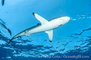 Image 33339, Silky Shark at San Benedicto Islands, Revillagigedos, Mexico. Socorro Island (Islas Revillagigedos), Baja California, Carcharhinus falciformis, Phillip Colla, all rights reserved worldwide.   Keywords: animal:animalia:carcharhinidae:carcharhiniformes:carcharhinus:carcharhinus falciformis:chondrichthyes:chordata:creature:danger:elasmobranch:elasmobranchii:falciformis:fear:jaws:mexico:nature:ocean:oceans:outdoors:outside:pacific:predator:revillagigedos:risk:sea:shark:silky shark:socorro island:submarine:underwater:vertebrata:wildlife.