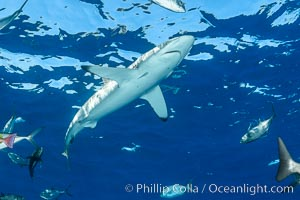 Silky Shark at San Benedicto Islands, Revillagigedos, Mexico. Socorro Island (Islas Revillagigedos), Baja California, Mexico, Carcharhinus falciformis, natural history stock photograph, photo id 33340