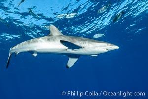 Silky Shark at San Benedicto Islands, Revillagigedos, Mexico, Carcharhinus falciformis, Socorro Island (Islas Revillagigedos)