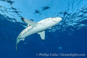 Silky Shark at San Benedicto Islands, Revillagigedos, Mexico. Socorro Island (Islas Revillagigedos), Baja California, Mexico, Carcharhinus falciformis, natural history stock photograph, photo id 33343