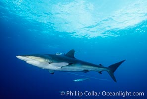 Silky shark, Carcharhinus falciformis, Cocos Island, copyright Phillip Colla Natural History Photography, www.oceanlight.com, image #01991, all rights reserved worldwide.