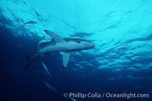 Silky shark. Cocos Island, Costa Rica, Carcharhinus falciformis, natural history stock photograph, photo id 05012