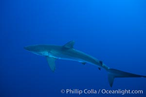 Silky shark. Socorro Island (Islas Revillagigedos), Baja California, Mexico, Carcharhinus falciformis, natural history stock photograph, photo id 06109