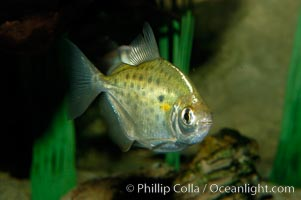 Silver dollar, a freshwater fish native to the Amazon and Paraguay river basins of South America, Metynnis hypsauchen