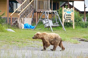 Brown bear passes by Silver Salmon Creek Lodge, Lake Clark National Park, Alaska