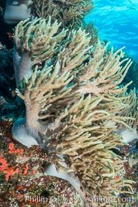 Sinularia flexibilis finger leather soft coral, Fiji. Namena Marine Reserve, Namena Island, Fiji, Sinularis flexibilis, natural history stock photograph, photo id 31831