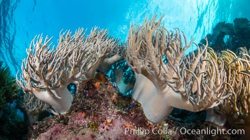 Sinularia flexibilis finger leather soft coral, Fiji. Namena Marine Reserve, Namena Island, Fiji, Sinularis flexibilis, natural history stock photograph, photo id 34841