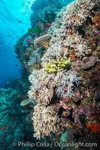 Leather coral, Sinularia sp., Fiji. Vatu I Ra Passage, Bligh Waters, Viti Levu  Island, Fiji, Sinularia, natural history stock photograph, photo id 31657