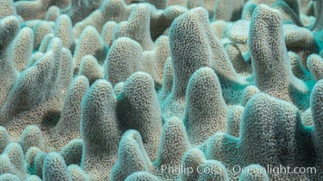 Leather coral, detail of the tiny polyps that capture planktonic food, Sinularia sp, Fiji, Sinularia, Makogai Island, Lomaiviti Archipelago
