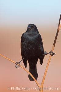 Small black bird, Bosque del Apache National Wildlife Refuge, Socorro, New Mexico