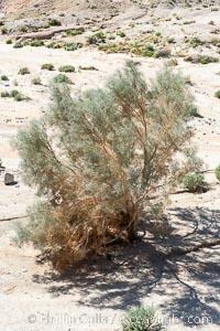 Smoketree, Arroyo Salado.  Anza Borrego Desert State Park, Psorothamnus spinosa, Anza-Borrego Desert State Park, Borrego Springs, California