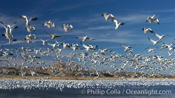 Image 21950, Snow geese blast off.  After resting and preening on water, snow geese are started by a coyote, hawk or just wind and take off en masse by the thousands.  As many as 50,000 snow geese are found at Bosque del Apache NWR at times, stopping at the refuge during their winter migration along the Rio Grande River. Bosque del Apache National Wildlife Refuge, Socorro, New Mexico, USA, Chen caerulescens