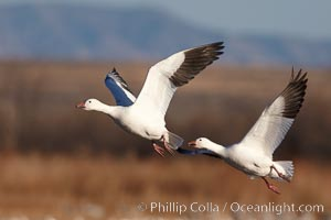Snow geese in flight. Bosque del Apache National Wildlife Refuge, Socorro, New Mexico, USA, Chen caerulescens, natural history stock photograph, photo id 21832