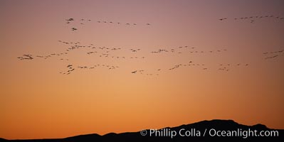 Snow geese in flight, at sunrise with rich early morning sky colors, Chen caerulescens, Bosque del Apache National Wildlife Refuge, Socorro, New Mexico