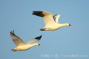 Snow geese in flight. Bosque del Apache National Wildlife Refuge, Socorro, New Mexico, USA, Chen caerulescens, natural history stock photograph, photo id 22041