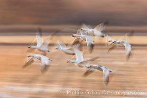 Snow geese in flight, wings are blurred in long time exposure as they are flying. Bosque Del Apache, Socorro, New Mexico, USA, Chen caerulescens, natural history stock photograph, photo id 26211