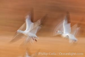 Snow geese in flight, wings are blurred in long time exposure as they are flying. Bosque Del Apache, Socorro, New Mexico, USA, Chen caerulescens, natural history stock photograph, photo id 26254