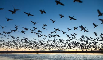 Snow geese in flight at sunrise.  Bosque del Apache NWR is winter home to many thousands of snow geese which are often see in vast flocks in the sky, Chen caerulescens, Bosque Del Apache, Socorro, New Mexico