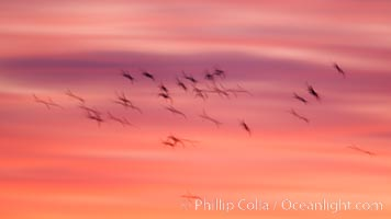 Image 26252, Snow geese in flight at sunrise.  Bosque del Apache NWR is winter home to many thousands of snow geese which are often see in vast flocks in the sky. Bosque Del Apache, Socorro, New Mexico, USA, Chen caerulescens