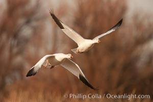 Snow geese in flight, Chen caerulescens, Bosque Del Apache, Socorro, New Mexico