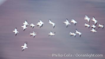 Image 26250, Snow geese in flight, wings are blurred in long time exposure as they are flying. Bosque Del Apache, Socorro, New Mexico, USA, Chen caerulescens, Phillip Colla, all rights reserved worldwide.   Keywords: Blur:motion:motion blur:New Mexico:anatidae:animal:animalia:anseriformes:aves:bird:bosque del apache:bosque del apache national wildlife refuge:bosque del apache nwr:caerulescens:chen:chen caerulescens:chordata:creature:goose:national wildlife refuges:nature:new mexico:snow geese:snow goose:socorro:usa:vertebrata:vertebrate:wildlife:flight:flying:geese:national wildlife refuge.
