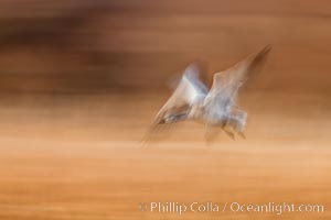 Snow geese in flight, wings are blurred in long time exposure as they are flying. Bosque Del Apache, Socorro, New Mexico, USA, Chen caerulescens, natural history stock photograph, photo id 26275