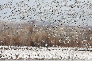Snow geese gather in massive flocks over water, taking off and landing in synchrony. Bosque del Apache National Wildlife Refuge, New Mexico, USA, Chen caerulescens, natural history stock photograph, photo id 20009