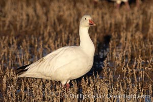 Snow goose standing in marsh grass, Chen caerulescens, Bosque del Apache National Wildlife Refuge, Socorro, New Mexico