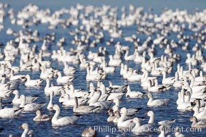 A flock of snow geese, numbering in the thousands, covers a freshwater pond as they rest, Chen caerulescens, Bosque del Apache National Wildlife Refuge, Socorro, New Mexico
