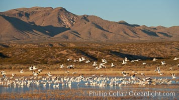 Snow geese and sandhill cranes. Bosque Del Apache, Socorro, New Mexico, USA, Chen caerulescens, Grus canadensis, natural history stock photograph, photo id 26217