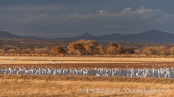 Snow geese and sandhill cranes. Bosque Del Apache, Socorro, New Mexico, USA, Chen caerulescens, Grus canadensis, natural history stock photograph, photo id 26239