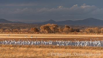 Snow geese and sandhill cranes, Chen caerulescens, Grus canadensis, Bosque Del Apache, Socorro, New Mexico
