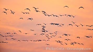 Flocks of geese at sunrise, in flight. Bosque del Apache National Wildlife Refuge, Socorro, New Mexico, USA, Chen caerulescens, natural history stock photograph, photo id 26418