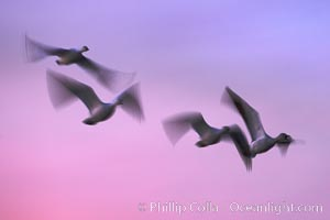 Snow geese, flying across a colorful sunset sky, wings blurred from long time exposure, Chen caerulescens, Bosque del Apache National Wildlife Refuge, Socorro, New Mexico