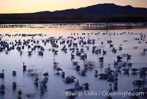 Snow geese rest on still waters, main empoundment, before sunrise, blurring of geese due to time exposure, Chen caerulescens, Bosque del Apache National Wildlife Refuge, Socorro, New Mexico