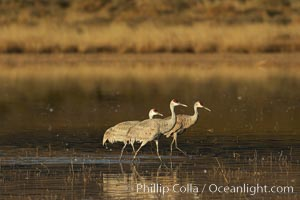 Sandhill cranes, Chen caerulescens, Bosque del Apache National Wildlife Refuge, Socorro, New Mexico
