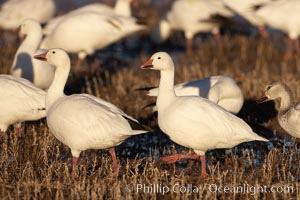 Snow geese, Chen caerulescens, Bosque del Apache National Wildlife Refuge, Socorro, New Mexico