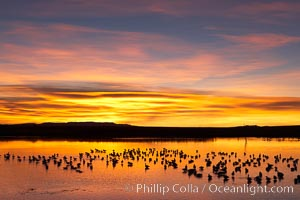 Snow geese at dawn.  Snow geese rest beneath richly colored predawn skies on the main impoundment pond at Bosque del Apache National Wildlife Refuge.  They will lift off by the thousands at sunrise, Chen caerulescens, Socorro, New Mexico