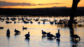 Snow geese, resting on the calm water of the main empoundment at Bosque del Apache NWR in predawn light. Bosque del Apache National Wildlife Refuge, Socorro, New Mexico, USA, Chen caerulescens, natural history stock photograph, photo id 21980