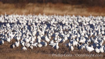 Image 21999, A flock of snow geese, numbering in the thousands, covers a freshwater pond as they rest. Bosque del Apache National Wildlife Refuge, Socorro, New Mexico, USA, Chen caerulescens