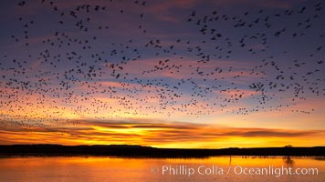 Image 22021, Snow geese at dawn.  Snow geese often