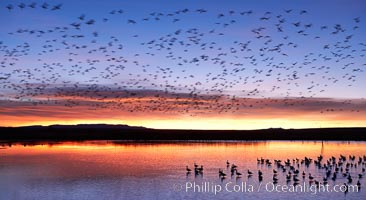 """Snow geese at dawn.  Snow geese often """"blast off"""" just before or after dawn, leaving the ponds where they rest for the night to forage elsewhere during the day. Bosque del Apache National Wildlife Refuge, Socorro, New Mexico, USA, Chen caerulescens, natural history stock photograph, photo id 22078"""