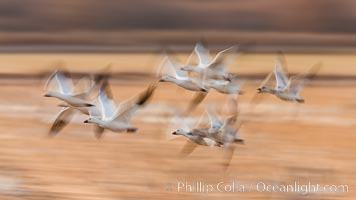 Snow geese in flight, blur, abstract, Chen caerulescens, Bosque del Apache National Wildlife Refuge, Socorro, New Mexico