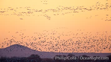 Flocks of geese at sunrise, in flight, Chen caerulescens, Bosque del Apache National Wildlife Refuge, Socorro, New Mexico