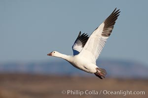 Snow goose in flight. Bosque del Apache National Wildlife Refuge, Socorro, New Mexico, USA, Chen caerulescens, natural history stock photograph, photo id 21801